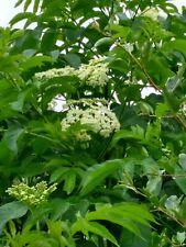 Black Elderberry Bush