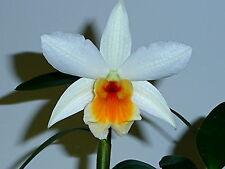 Dendrobium Sol Primavera Dawn Nuevo híbrido Orquídea