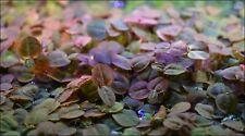 100+ Healthy Floating Beginner Aquarium Plants Frogbit Red Root Riccia Fluitans