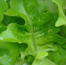 1.000 Graines non traitées de salade Laitue à couper FEUILLE DE CHENE VERTE