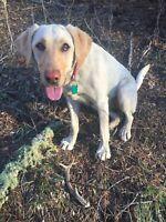 Colorado Rocky Mountain Elk Antler Dog Chew Large Split      Free Shipping!!