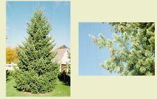 New listing Douglas Fir. 200 seeds. trees, seeds