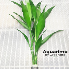 Lucky Bamboo Green Bundle Freshwater Aquarium Live Environment Safe For Fish Ada