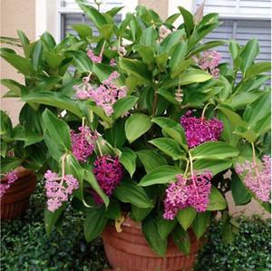 Malaysian Orchid Live Plant (Malaysian Grapes) - Medinilla myriantha