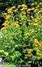 """Alant Inula helenium 30 exotische Samen, Blütenfarbe gelb, """" ALLES NUR 1 EURO"""""""