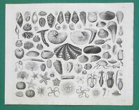 ANIMAL KINGDOM Marine Life Sea Shells Squid Cuttlefish Clams - 1844 Superb Print