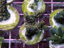 New listing Entangled Vines Acropora -Wysiwyg Live Coral Frag- Coral Savers