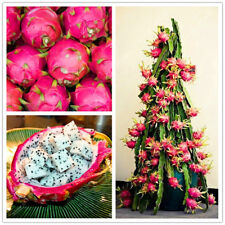 Egrow 50 Pcs/Pack Pitaya Seeds Red White Dragon Fruit Tree Seed for Outdoor Cou