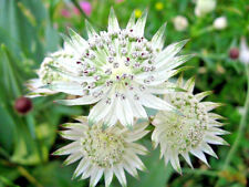 Astrantia major plugs x3 groundcover damp borders clay tolerant Hardy Perennial