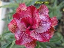 """Adenium Obesum Desert Rose"""" Venda Line"""" 30 seeds!"""