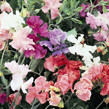 Sweet Pea - Special Mixed - 100 Seeds