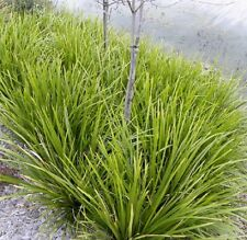 DALLIANCE Lomandra longifolia native hardy waterwise plant in 140mm pot