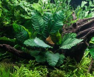 Anubias Coffeefolia Anubis Rhizome Live Aquarium Plants BUY 2 GET 1 FREE ✅