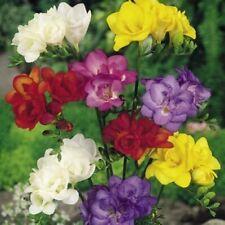 20 x FREESIA Double Mixed  SUMMER FLOWER  Perennial Garden Plant BULBS