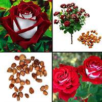 20pcs Rare Seed Osiria Rose Ruby Rose-Blumensamen Gartenpflanze Rot mit wei Z8T2