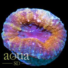 New listing Asd - 108 Magic Muffin Lobo - Wysiwyg - Aqua Sd Live Coral Frag