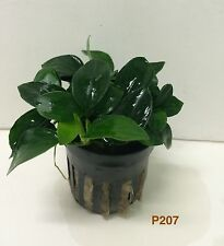 Live Aquatic Plant Anubias nana petite P207 ~ BUY 2 GET 1 FREE/ Free Shpping