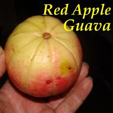 ~RED APPLE GUAVA~ Psidium guajava YUMMY Super Sweet Rare Cultivar LIVE Seedling
