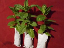 """3 Live Peppermint plants rooted in soil 5"""" to 7"""" long"""