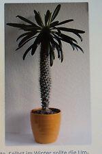 20 Samen Madagaskarpalme,Pachypodium lamerei,Palme,Sukkulente,#364