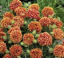 Gaillardia - Sundance Bi-Colour - 100 Seeds