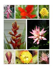 ***MYSTERY PACK***12 X BROMELIAD PUPS Mixed - BULK PACK LOT*** SURPRISE***