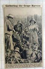 1921 Vintage Of Grapes Being Gathered At Beziers Low Bush Form