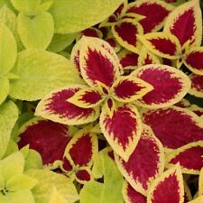 1 Pack 50 Coleus Seeds Rare Mix Color Blumei Flower Seeds Decoration Garden S096