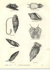 1854 incisioni episcopale Mitre undulatus voluta Pacific