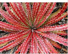 Hechtia Texensis Scariosa * RARE Bromeliad * False Agava * Red Hot Leaf