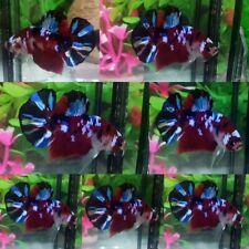 Red Galaxy Koi Halfmoon Plakat Male - IMPORT LIVE BETTA FISH FROM THAILAND