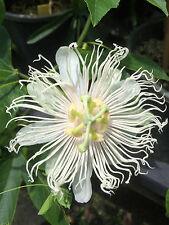 Passiflora incarnata var. alba Live ROOTS White Maypop wild passion fruit flower