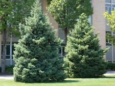 Black Spruce (Picea mariana) 50 seeds