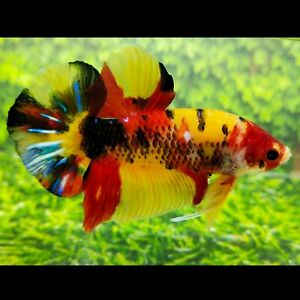 Live Betta Fish BIG GIANT YELLOWBASE HMPK Male from Indonesia Breeder