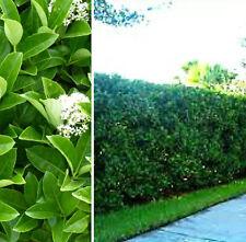 6 x Sweet Viburnum odoratissimum fast dense hedging plants in 40mm pots