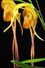 Phragmepedium Giganteum seedling plant