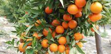30 Mandarin Tree Seeds Orange Plants Edible Vitamin Bonsai Fruit Garden Home