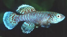 50 EGGS NOTHOBRANCHIUS EGGERSI BLUE KILLIFISH KILLI EGG HATCHING TROPICAL FISH