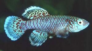 50 EGGS NOTHOBRANCHIUS EGGERSI BLUE KILLIFISH KILLI EGG HATCHING TROPICAL FISH