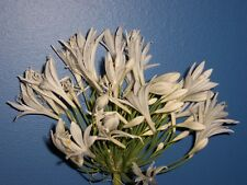 White Agapanthus Mature- Lot of 6