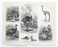 1884 Ostrich Engraving Kiwi African Dinornis American Original German