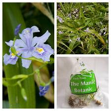 Iris confusa 'Martin Rix' - Bamboo Iris - Cottage, Patio, Shade Loving Perennial