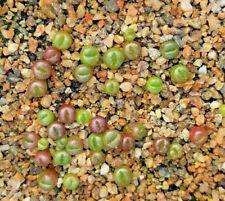 Semillas De Lithops seleccionado-incluso C números y cultivares - 15 semillas