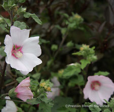 Lavatera  Barnsley Hardy Free Flowering Shrub Tree Mallow