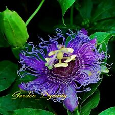 PASSION FLOWER SEEDS PASSIFLORA UNIQUE FLOWERS EXOTIC FRUIT 50++++ SEEDS!!!!
