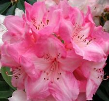 Rhododendron Seeds Azalea Biji Potted Seed Flower Seed Plant Bonsai 100pcs/bag