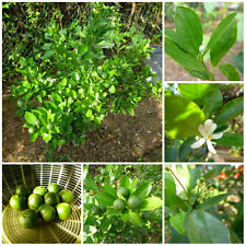 Calamansi Calamondin Lime SEEDS THIRTY (30) Organically Grown Free, Fast Ship!