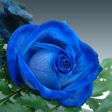 50 pcs New Wild Blue Rose Plant Seed, Strong Fragrant Flowers