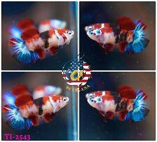 New listing [Ti-2543] Live Betta Fish High Quality Hmpk Female Red Galaxy Koi