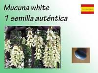 Semilla de MACUNA WHITE mucuna seeds